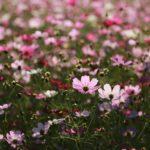 コスモス畑は関東の千葉県へ!名所のおすすめ11選2019年版!