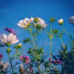 益子町のコスモス祭り2019詳細!開花状況やアクセス方法について!